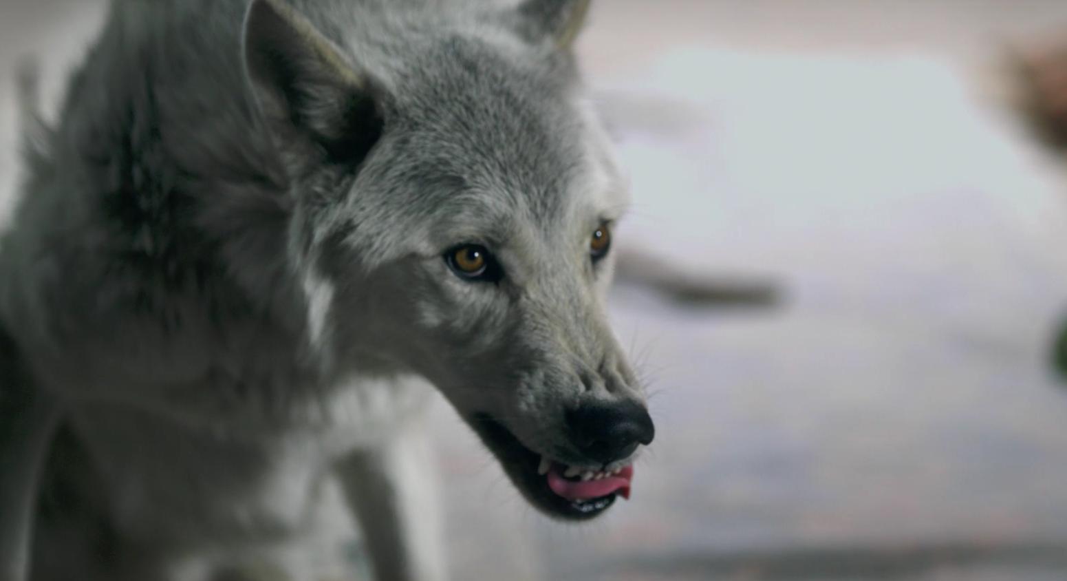 """Im Video zu """"Siberian Nights"""" steht ein Wolf im Mittelpunkt"""