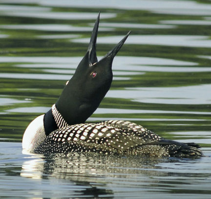 HOLDERNESS, NH - JULY 31: Its red eye gleaming in the summer sun, a common loon stretches on Squam Lake. The loons had poor productivity this year on the lake. (Photo by Mark Wilson/The Boston Globe via Getty Images)